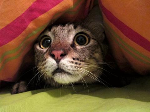 Intrigued Cat Under A Blanket — стоковые фотографии и другие картинки Без людей