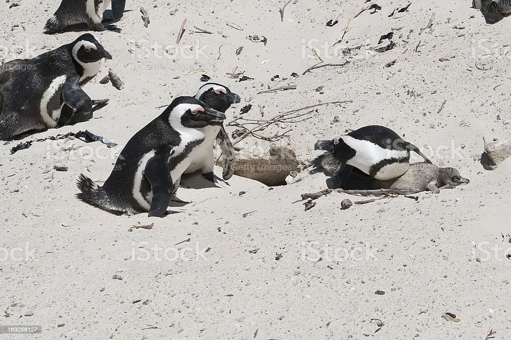 Intruding Penguins royalty-free stock photo