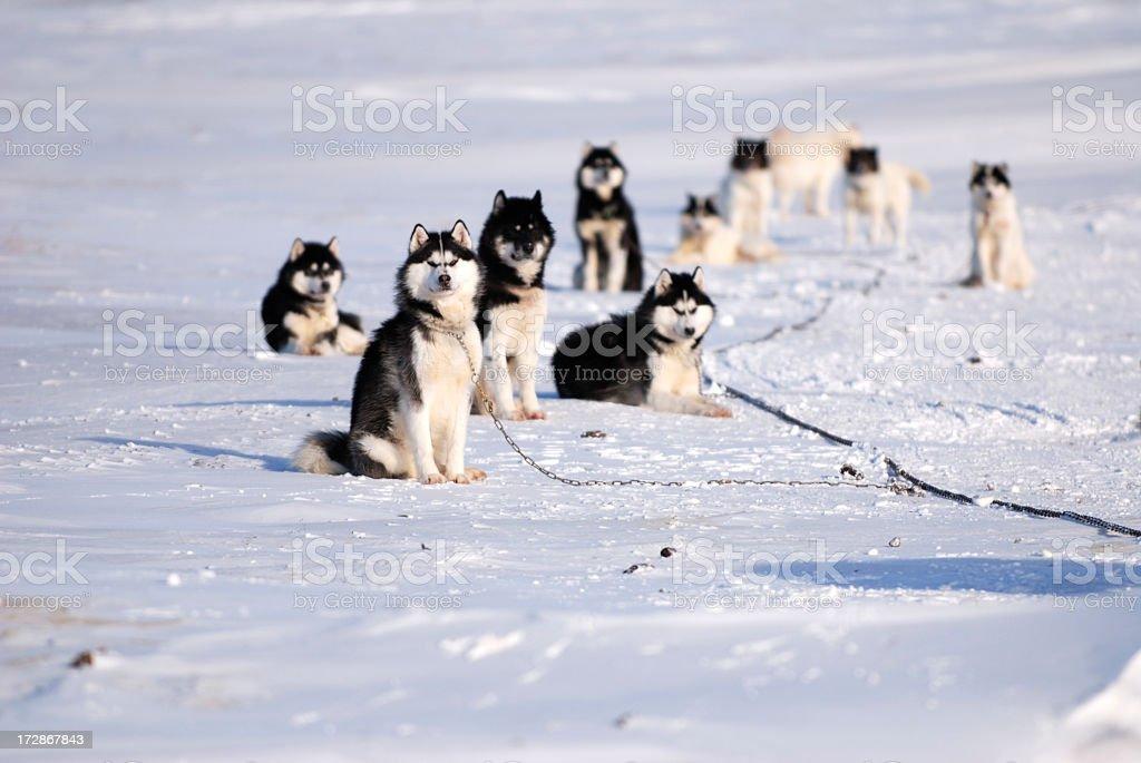 Inuit Husky Dog Team on Baffin Island stock photo