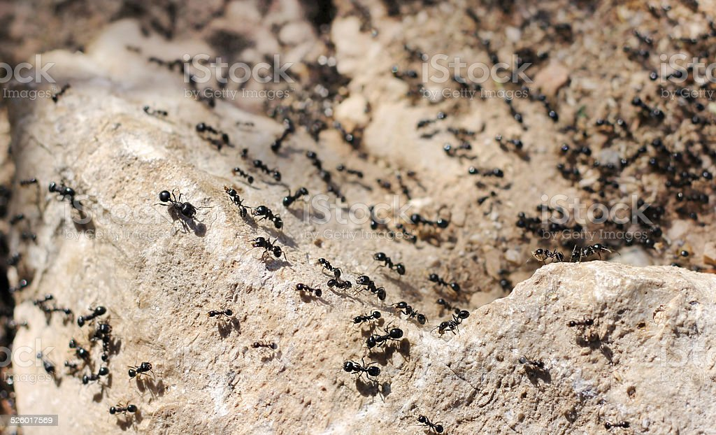 invasion of black ants stock photo