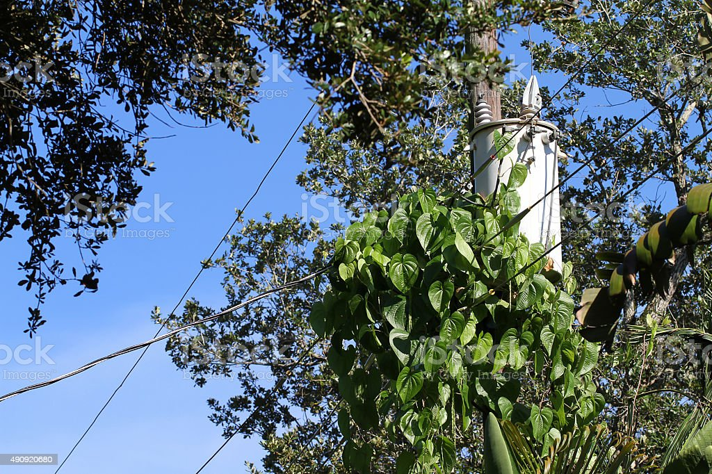 Invasive air potato vines overgrowing a pole transformer stock photo