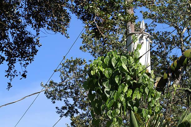 Invasive air potato vines overgrowing a pole transformer stock photo