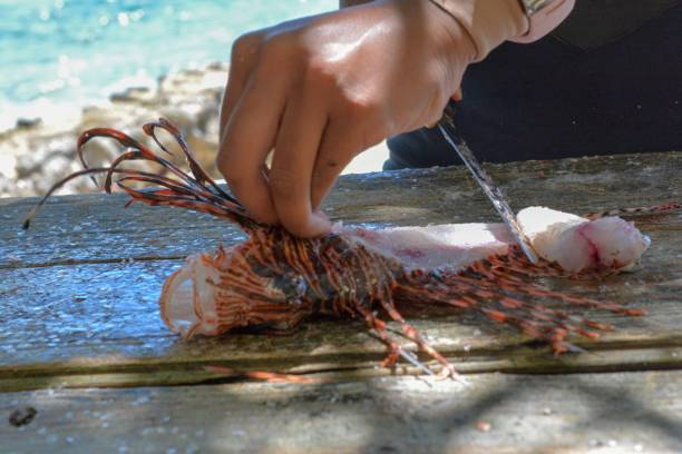 invasive lionfish on a fillet table - lionfish stock photos and pictures