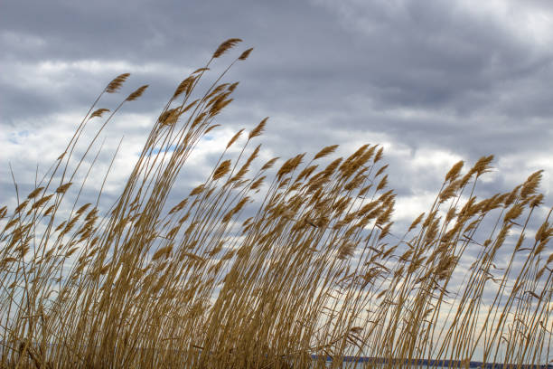 invasive phragmites on a great lakes beach in michigan - introduced species stock pictures, royalty-free photos & images