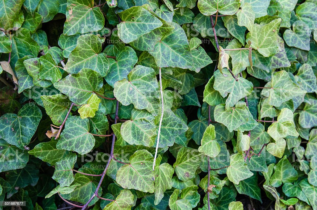 Invasive plant English Ivy stock photo