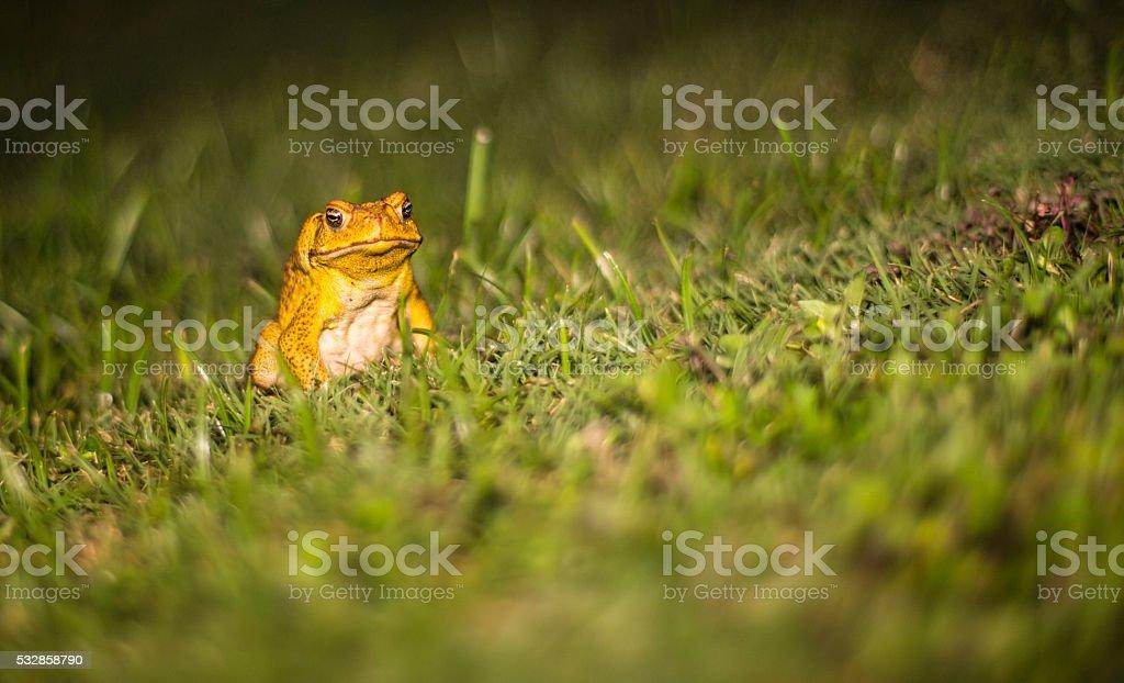 Invasive Species: Sugar Cane Toad in Hawaii stock photo