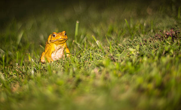 invasive species: sugar cane toad in hawaii - introduced species stock pictures, royalty-free photos & images