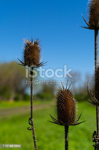 The invasive teasel with brilliant blue skies in the background.  Midewin National Tallgrass Prairie, Wilmington, Illinois
