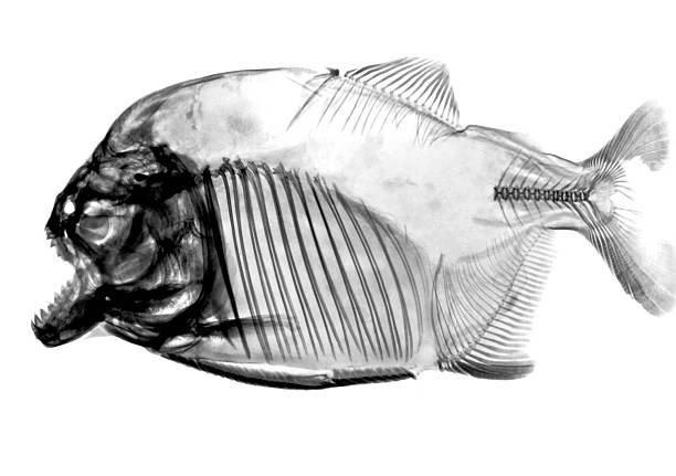 odwrócony ryb rtg - pirania zdjęcia i obrazy z banku zdjęć