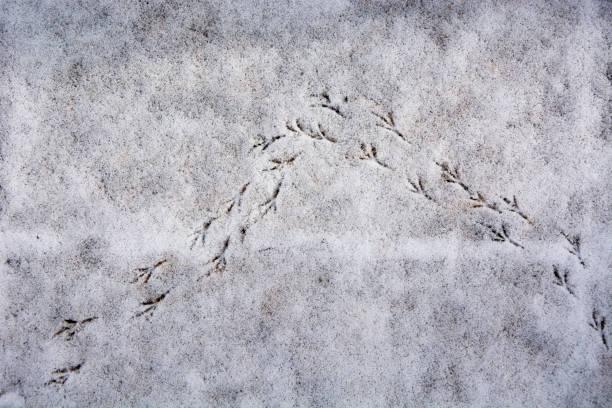 Inverted V of bird tracks in the snow stock photo