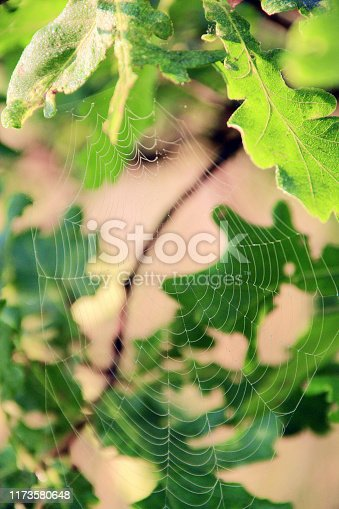 Invisible cobweb among oak leaves. Transparent web among green oak leaves. Spider's web closeup. Water droplets on web of spider living on between oak leaves. House of spider living in green foliage