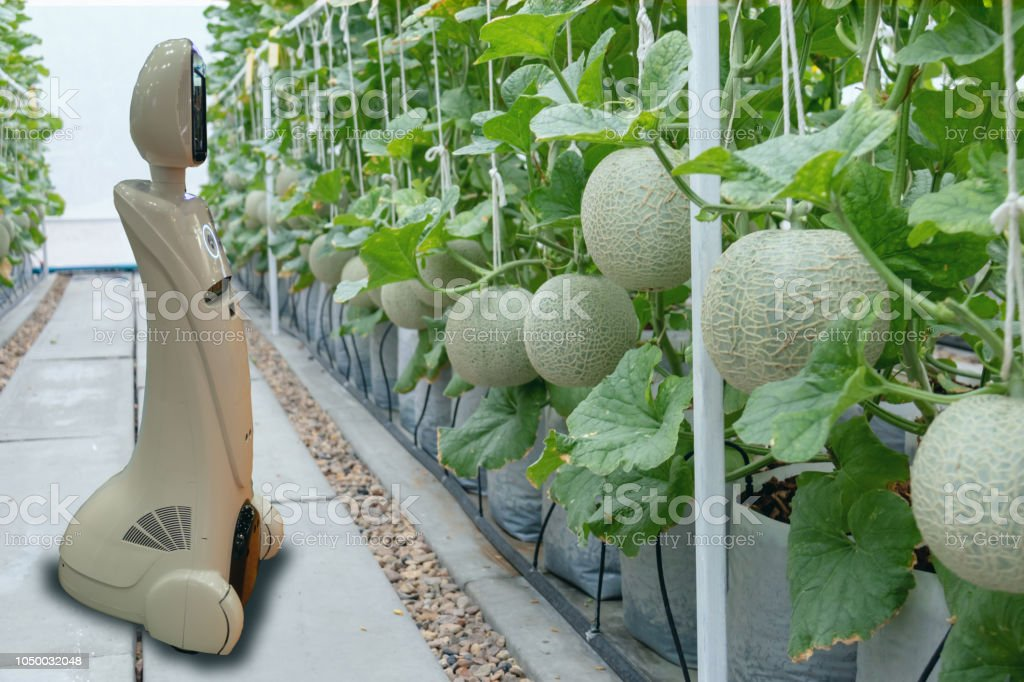 iot smart farming, agriculture in industry 4.0 technology concept, trend robot using in farm to help farmer collect data ,keep , tracking, detect insect, feed fertilizer to improve the vegetable fruit stock photo