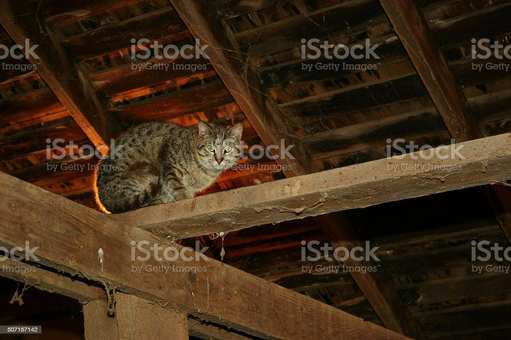Iowa Barn Cat in the Rafters stock photo