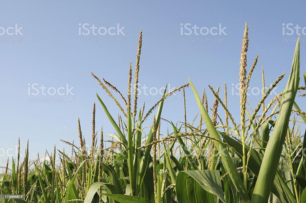 Iowa Corn and Tassel royalty-free stock photo