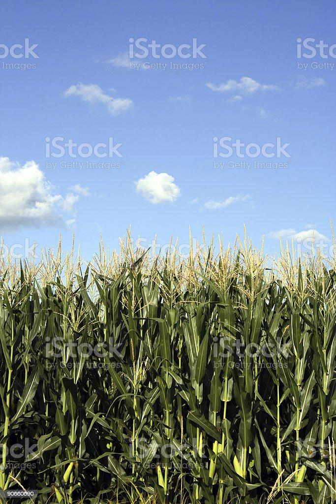 Iowa Corn Field royalty-free stock photo