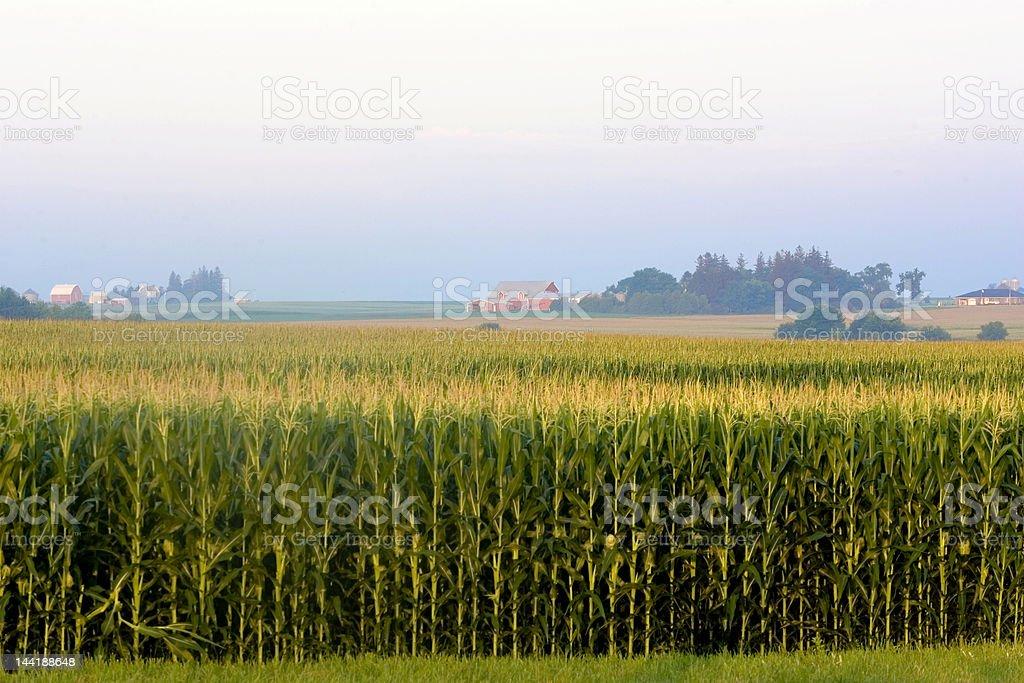 Iowa Corn Field with buildings royalty-free stock photo