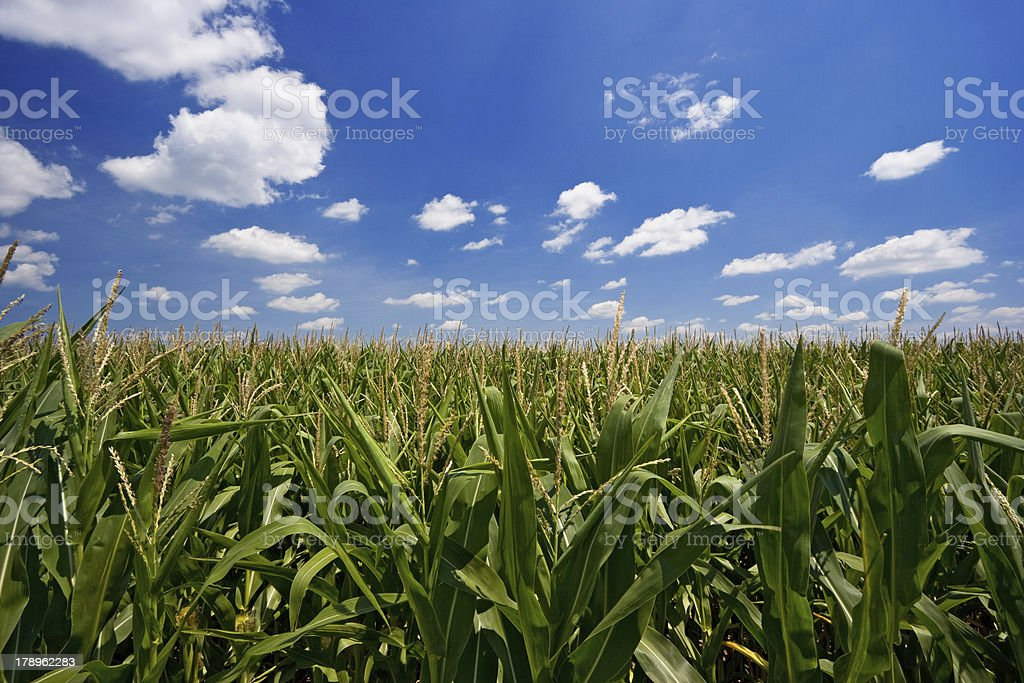 Iowa Cornfield stock photo