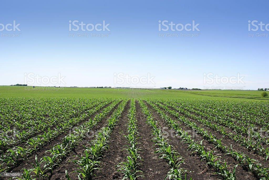 Iowa Cornfield royalty-free stock photo