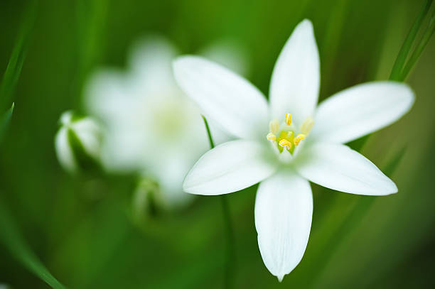 Ipheion flower macro stock photo