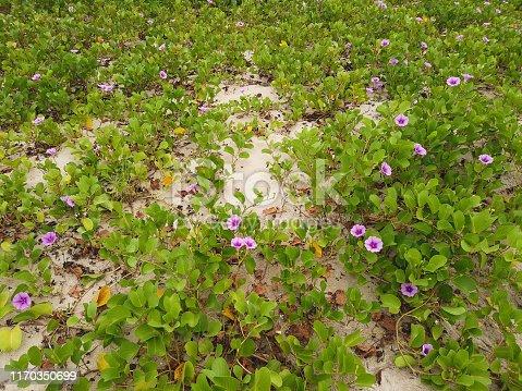Ipomoea pes-caprae on Nam O beach at Danang ,Vietnam