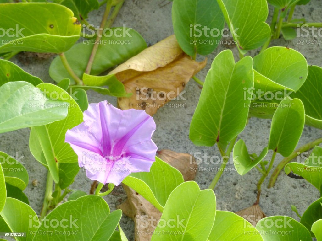 Ipomoea pes-caprae are blooming on the beach royalty-free stock photo
