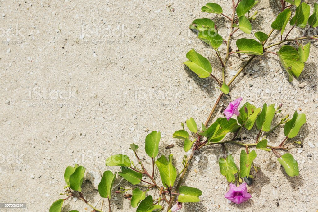 Ipomoea pes-caprae, morning glory plant growing across sandy beach stock photo