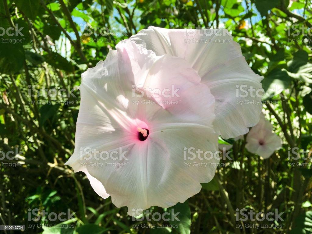 Ipomoea purpurea flor - foto de acervo