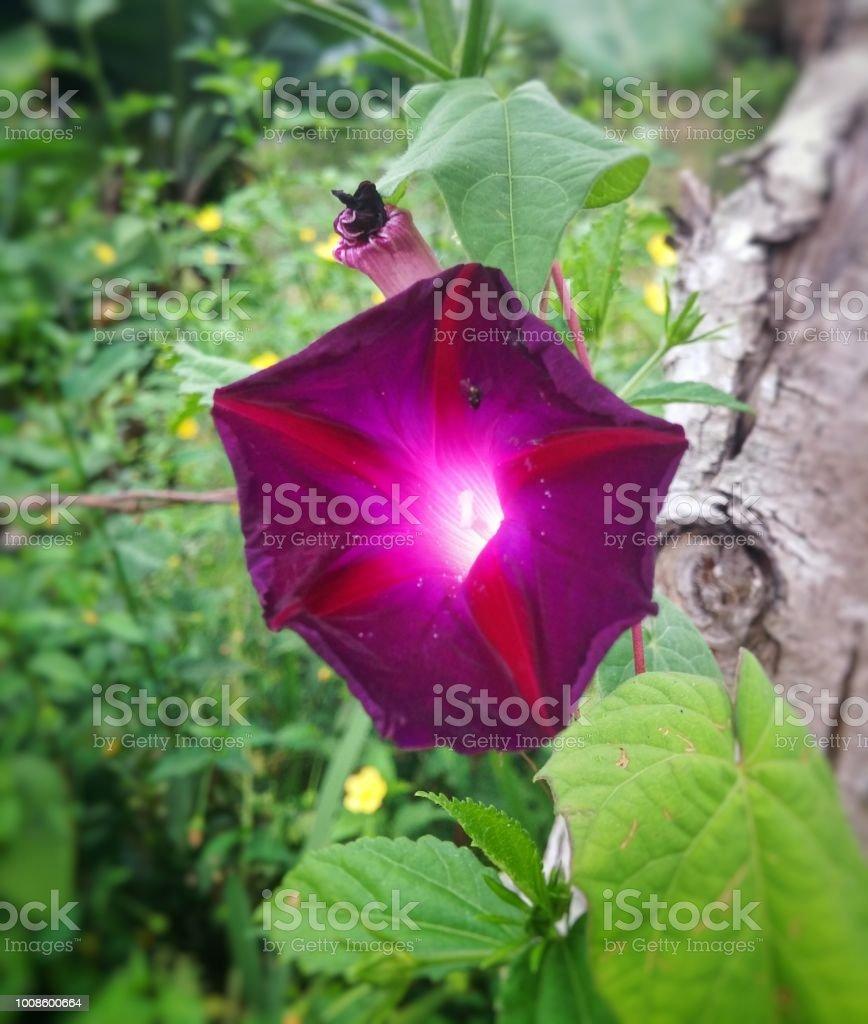 Ipomoea purpurea, ipomeia, deslumbrante roxo flor vermelha e branca center - foto de acervo