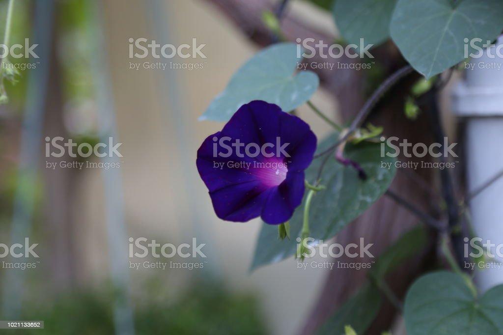 Ipoméia purpurea - foto de acervo