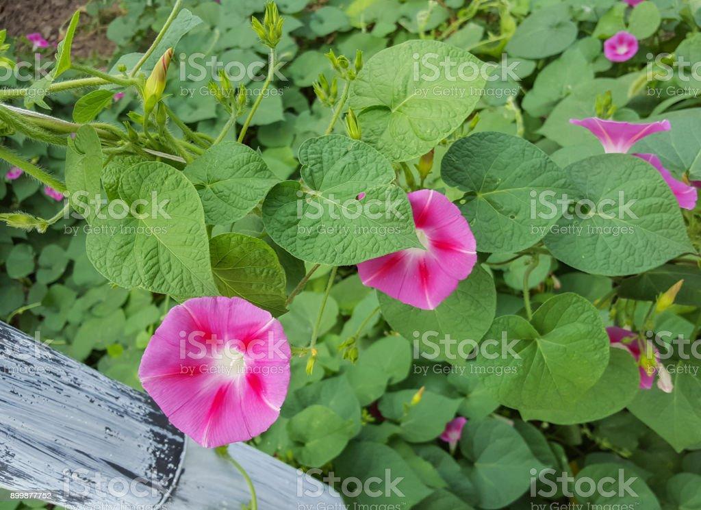 Ipomoea purpurea-de-rosa flor, a ipomeia púrpura, alta ou comum, close-up. - foto de acervo