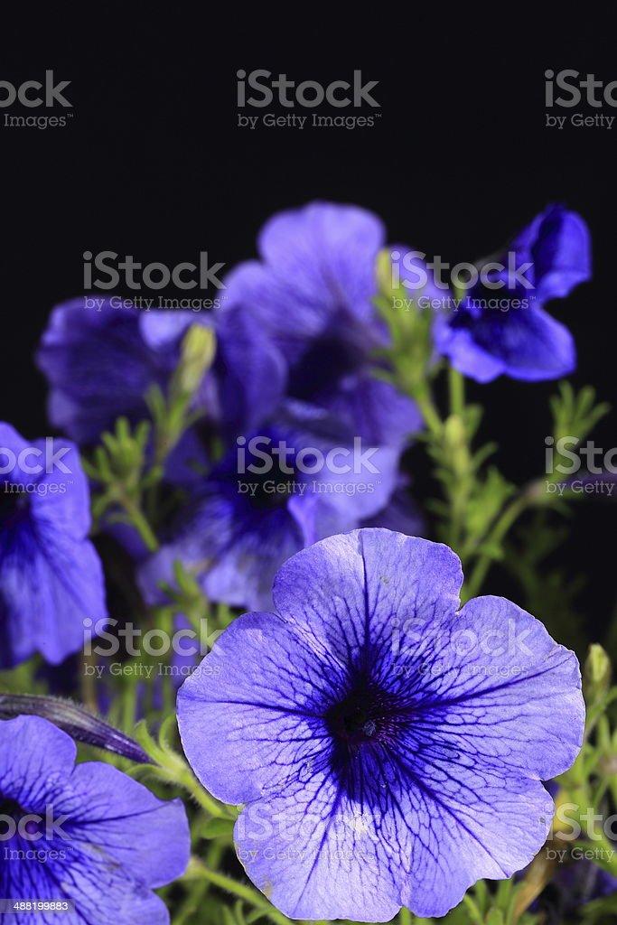 Ipoméia Purpurea Planta - foto de acervo