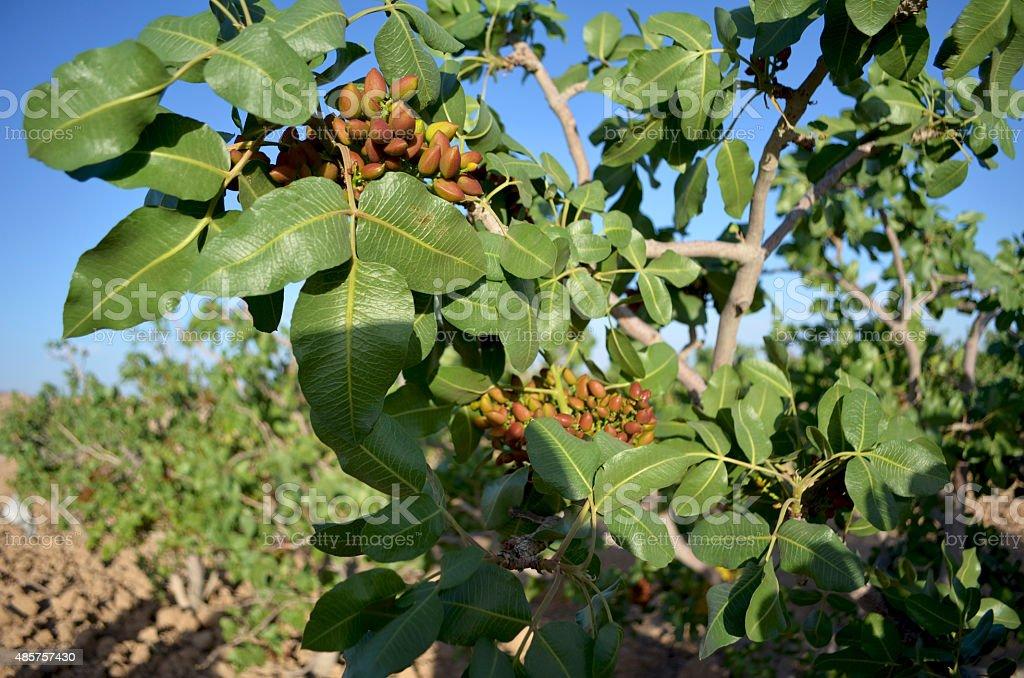 Iran, pistachio plantations stock photo