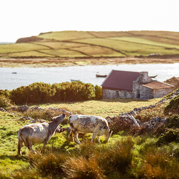 Ireland, Cows in the Countryside stock photo