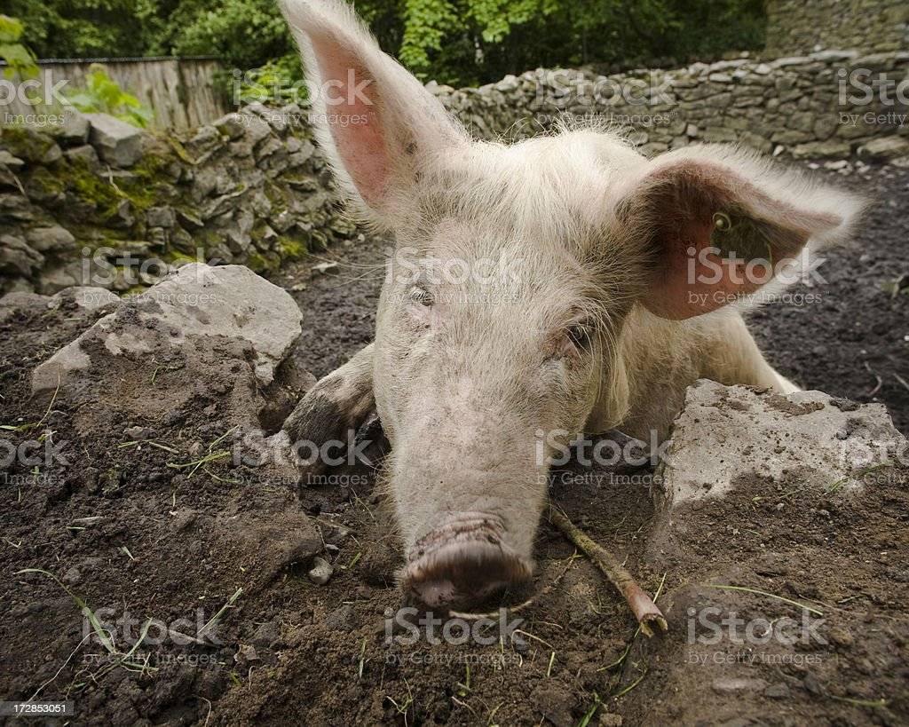 Ireland: Pig in a pigsty stock photo