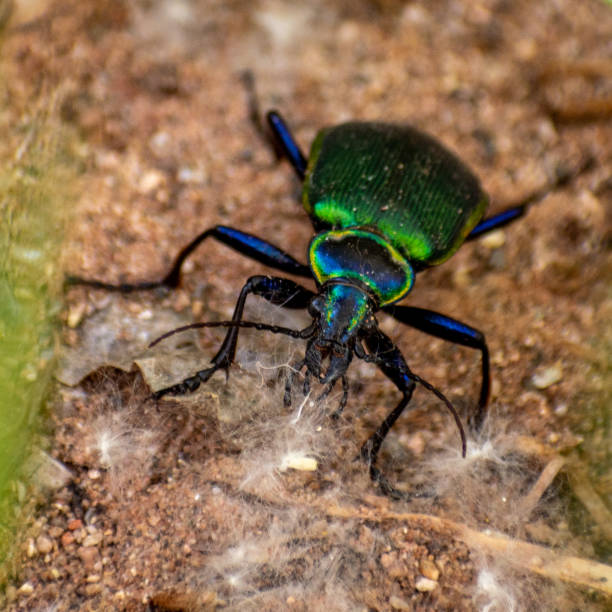 Iridescent beetle stock photo