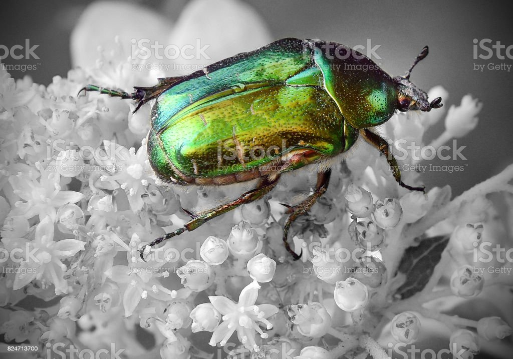 Iridescent Green Beetle stock photo