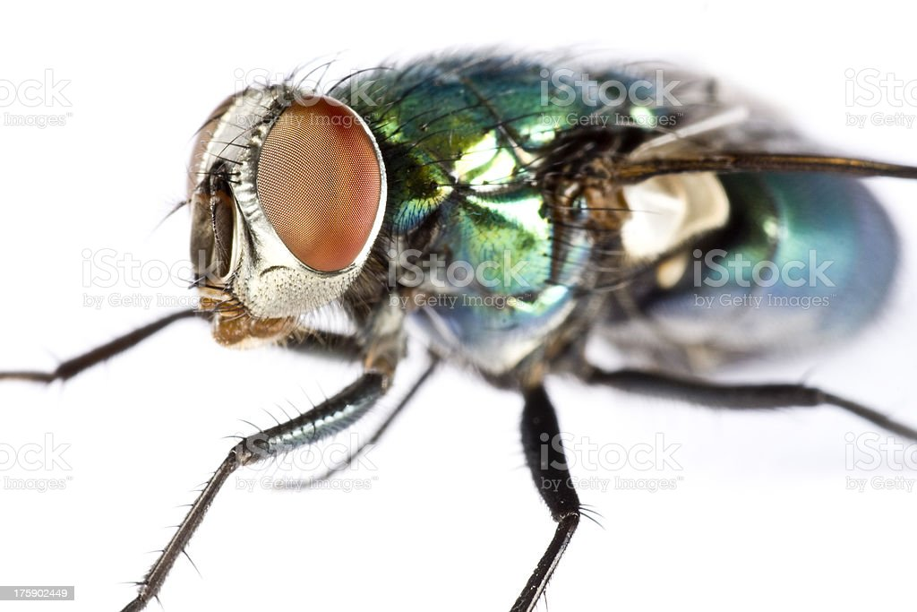 iridescent house fly in close up stock photo