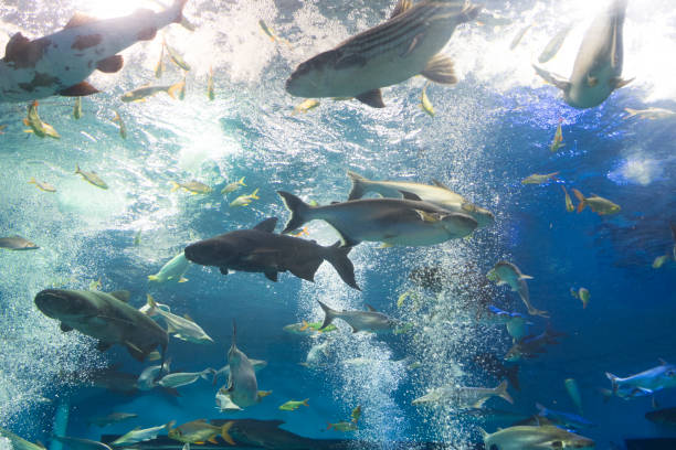 tiburón iridiscente, bagre rayado sutchi mekong gigante, siluro en el acuario - pez sierra fotografías e imágenes de stock
