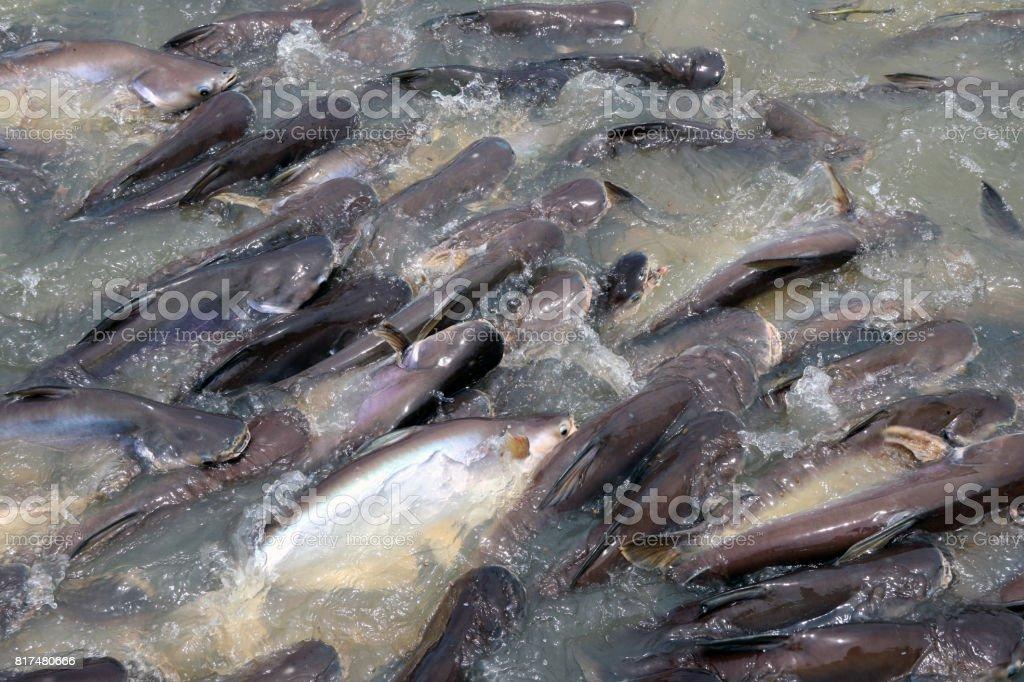 Fotografía de Tiburón Iridiscente Bagre Rayado O Scramble De Bagre ...