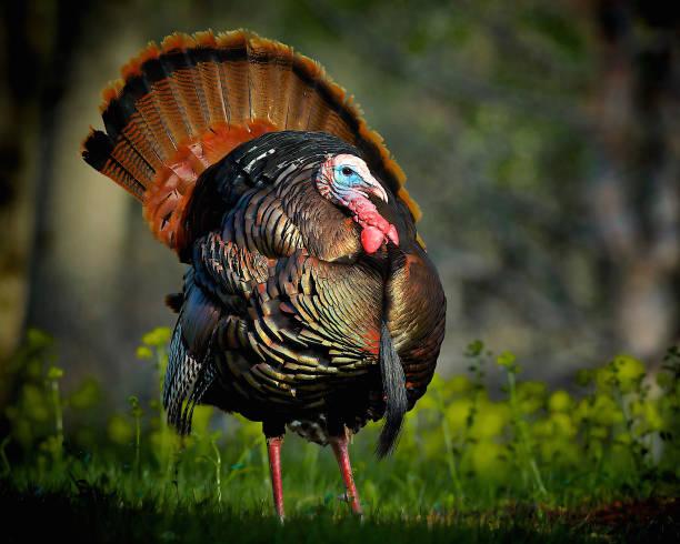iridescent wild turkey portrait - turkey zdjęcia i obrazy z banku zdjęć