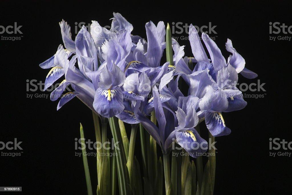 Iridodictyum reticulatum royalty-free stock photo