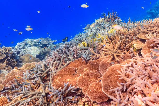 Iriomote Island Tauchen - Schöne Zweig Korallenherde – Foto