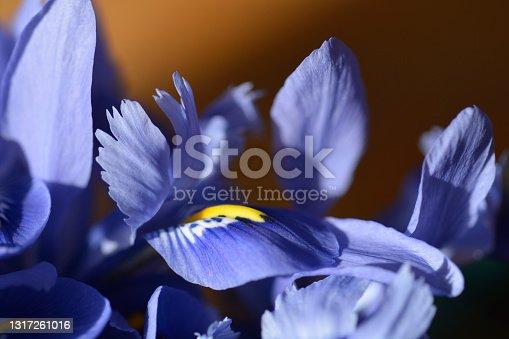 istock Iris Alida 1317261016