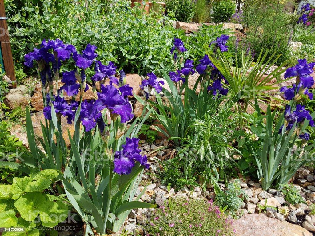 Iris Barbataelatior Blue Rhythm High Bearded Iris Stock Photo More