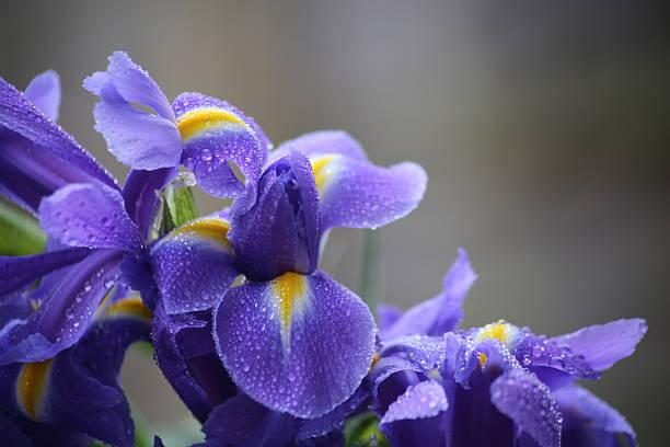iris blooms - iris flower stock photos and pictures