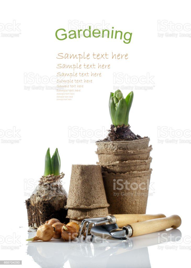 Iris bulbs, potted hyacinth and gardening tools isolated on white. Flower bulbs ready for planting. Springtime. Gardening concept. stock photo