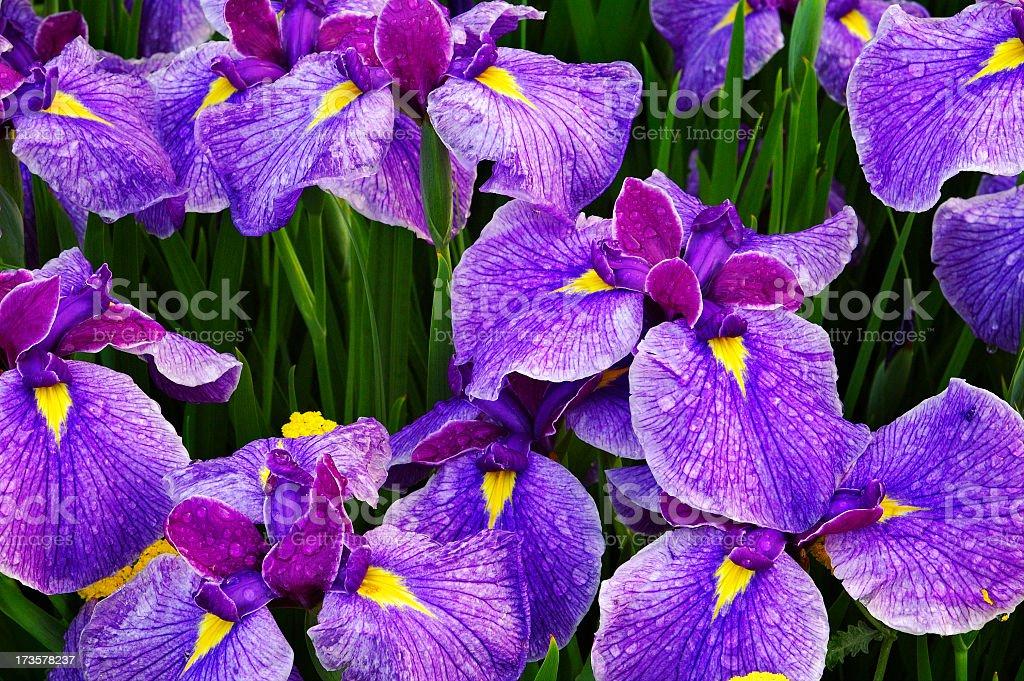 Iris Cluster royalty-free stock photo