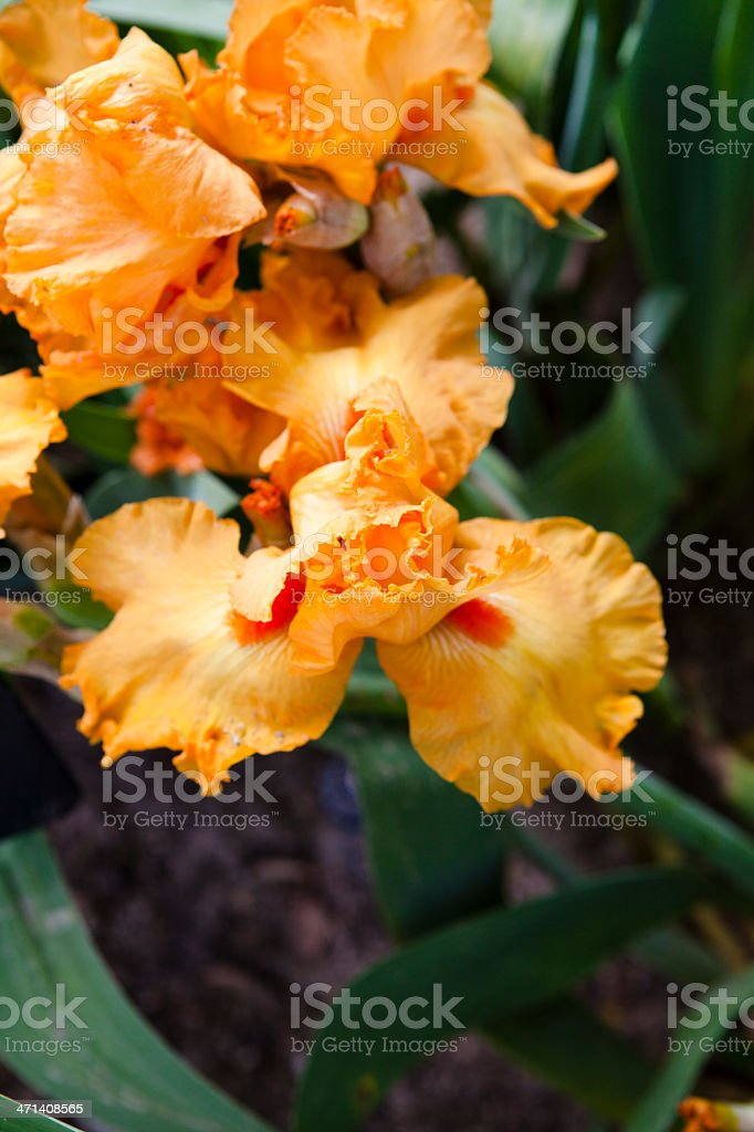 Iris Detail royalty-free stock photo