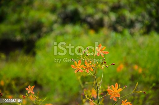 background,beautiful,blackberry,botany,bright,closeup,colorful,domestica,flora,floral,flower,garden,green,herb,iris,leaf,leopard,lily,macro,natural,nature,orange,plant,red,summer
