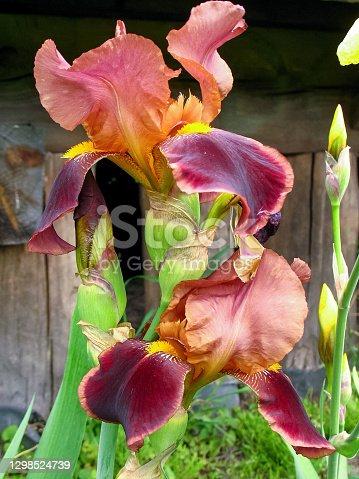 istock Iris Flower In Garden Backyard 1298524739